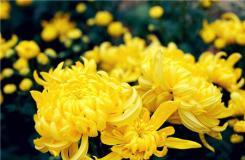 菊花花語是什么 送菊花代表什么意思?