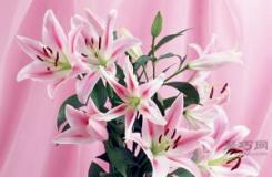 百合花的花语是什么?百合花语大全