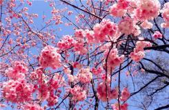 櫻花的花語是什么?各種櫻花花語大全