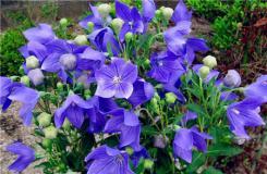桔梗花的花语是什么?桔梗花的传说解读桔梗花花语