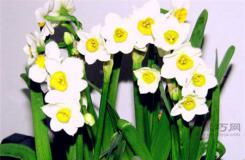 關于水仙花的四種傳說 西方希臘神話中水仙花傳說大全