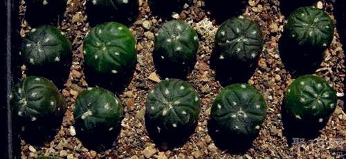 仙人球的幼苗移植方法圖解