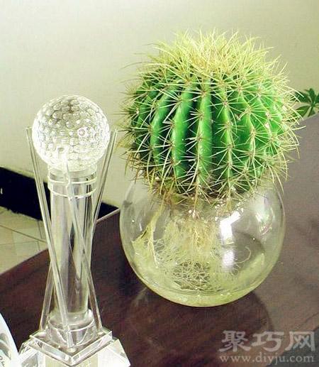 仙人球可以水培嗎?水培仙人球的養殖方法