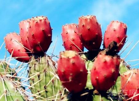 仙人掌果怎么吃 仙人掌果四種吃法及注意事項