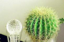 仙人球可以水培�幔克�培仙人球的�B殖方法