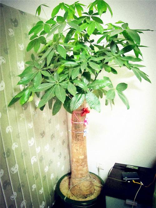 發財樹盆栽