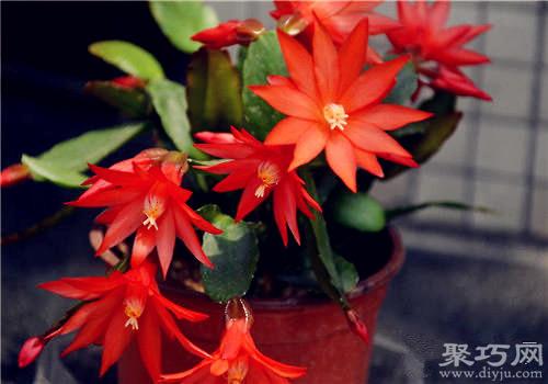 假曇花的養殖方法及假曇花的繁殖方法