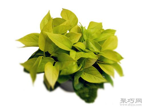 綠蘿分為哪些種類?常見綠蘿品種大全圖片