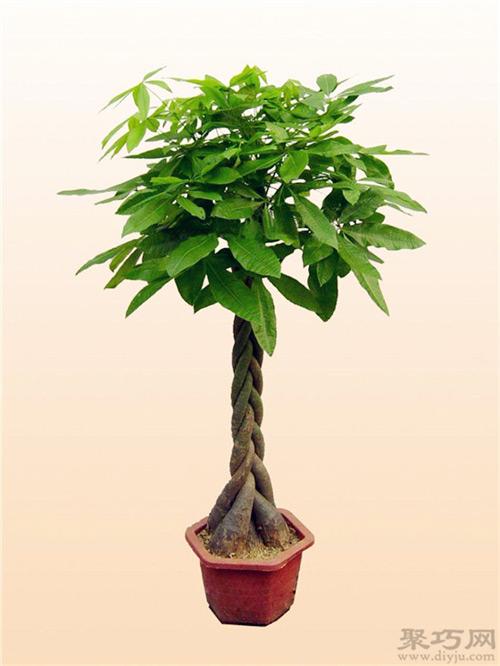 发财树为什么叫发财树?发财树的名字来历