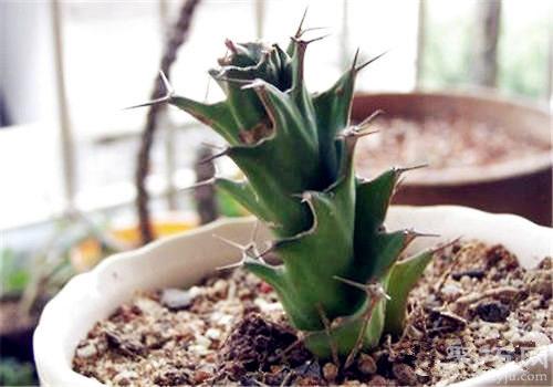 多肉植物旋風麒麟的養殖方法及繁殖方法