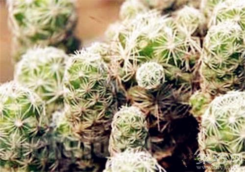 多肉植物翁柱的�B殖方法及繁殖方法