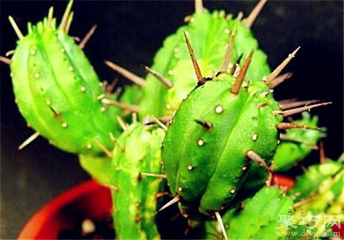 多肉植物紅彩閣的養殖方法及繁殖方法