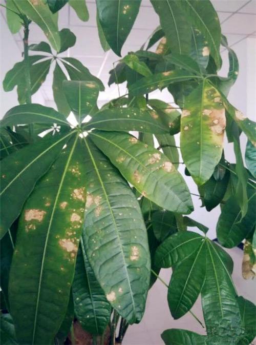 发财树生叶斑病的原因及预防治疗方法