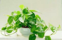 綠蘿能吸甲醛嗎?新房如何利用綠蘿快速除甲醛