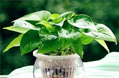 绿萝怎么水养?水培绿萝的养殖方法