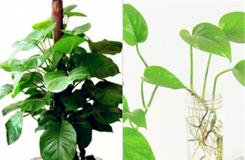 大葉綠蘿和小葉綠蘿的區別是什么?