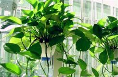盆栽綠蘿爛根的原因及解決辦法