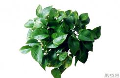 綠蘿是否有毒?綠蘿能放在臥室養殖嗎?