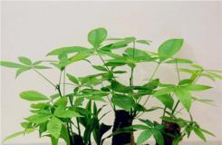 發財樹如何施肥 發財樹施什么肥最好?