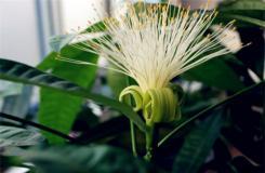 發財樹什么時候開花?發財樹怎么養才能開花