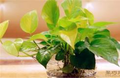 綠蘿葉子發黃是什么原因?綠蘿黃斑解決方法
