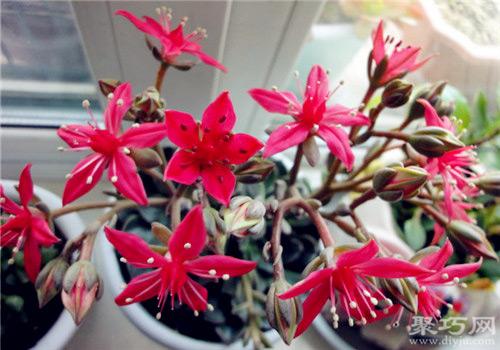 多肉植物美丽莲的养殖方法及繁殖方法
