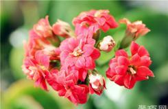 長壽花的養殖注意事項及繁殖方法