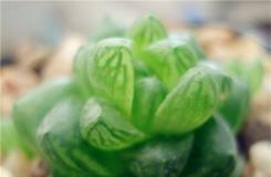 草玉露怎么養 草玉露的兩種繁殖方法