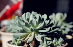 多肉植物特玉莲图片 特玉莲养殖方法及繁殖方法