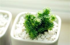 多肉植物白花小松的养殖方法 白花小松怎么扦插繁殖