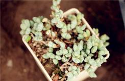 多肉碧玉蓮的養殖方法及繁殖方法