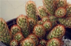 多肉植物金手指的養殖方法及繁殖注意事項