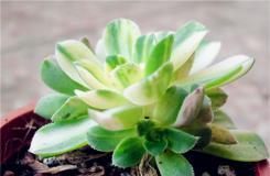 多肉植物愛染錦怎么養 愛染錦的繁殖方法