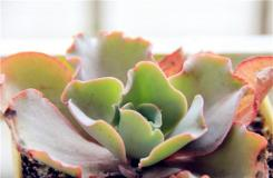 多肉高砂之翁的养殖方法及叶片繁殖注意事项