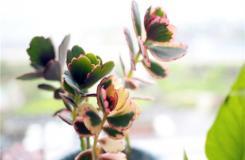 多肉植物玉吊�的栽植方法及繁殖方法