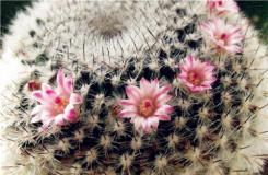 多肉仙人掌科玉翁的養殖方法 仙人球玉翁繁殖方法