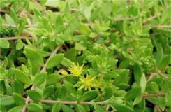 景天科费菜的栽培技术及繁殖方法