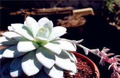 多肉植物雪莲怎么养殖 雪莲的繁殖方法