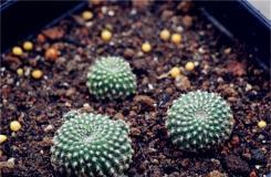 多肉植物子孫球的養殖方法及繁殖方法