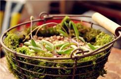 多肉植物紫玄月的养殖方法及繁殖方法
