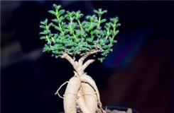 多肉植物姬�t小松怎么�B及繁殖方法