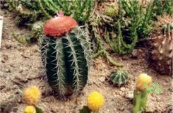 多肉植物彩云球的養殖方法及繁殖方法