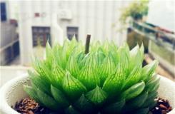 多肉植物櫻水晶的養殖方法及繁殖方法