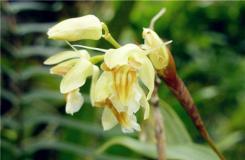 多肉植物黄绿贝母兰的养殖方法及繁殖方法