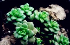 多肉植物小玉的养殖方法及繁殖方法