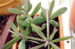 多肉植物紫蛮刀的养殖方法及繁殖方法