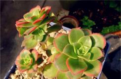 多肉植物红缘莲花掌的养殖方法及繁殖方法