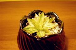多肉植物凝脂菊的養殖方法及繁殖方法