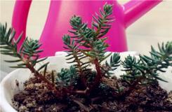 多肉植物塔松的養殖方法及繁殖方法