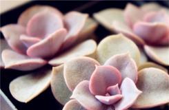多肉植物紫珍珠的养殖方法及繁殖方法